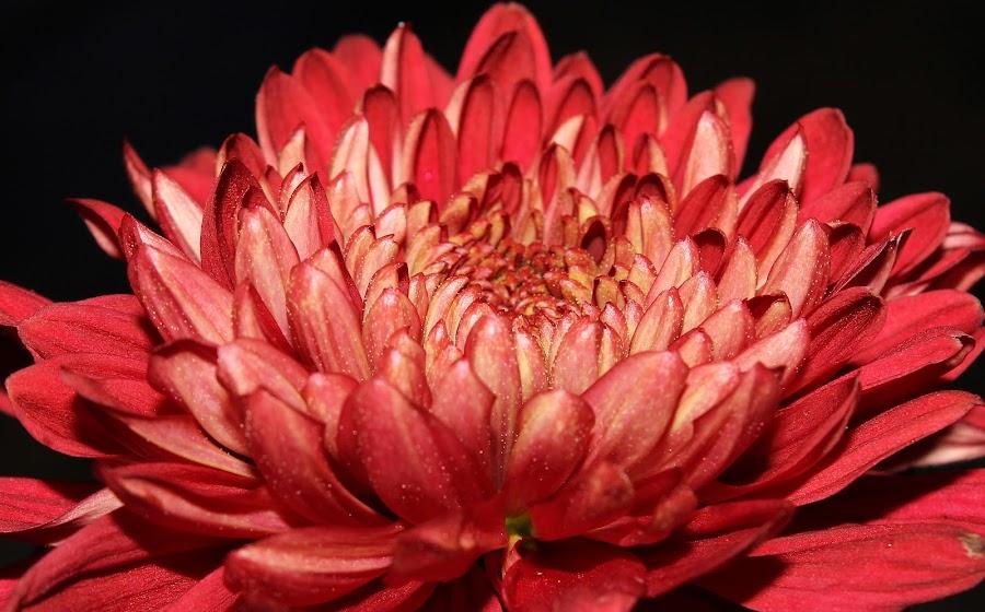 by Saefull Regina - Flowers Single Flower