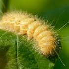 Dagger moth caterpillar