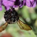 Valley Carpenter Bee