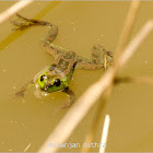 Indian Rice Frog