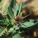 Asteraceae - Daisy Family; Arabic : hanga, amraar, murrar, keskas, kassoob