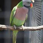 Moustache Parakeet