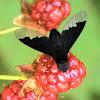Fly - Bee Fly