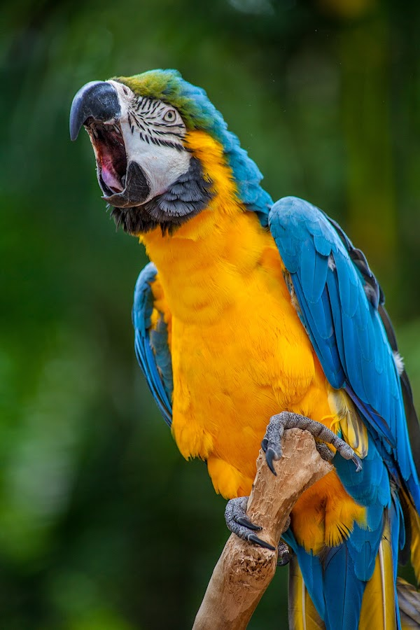 Screeching Macaw by Ryan Hoover - Animals Birds ( brazil, blue, yellow, exotic, macaw,  )
