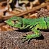 Juvenile Black Spiny-tailed Iguana