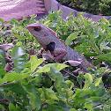 Oriental Garden Lizard (male)