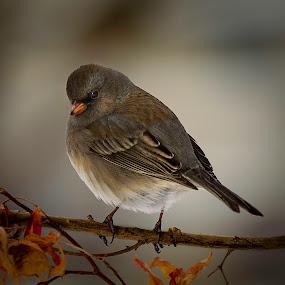 The Look by John Finch - Animals Birds ( animals - birds - insects - wildlife, nature, wildlife, fine art birds, birds,  )