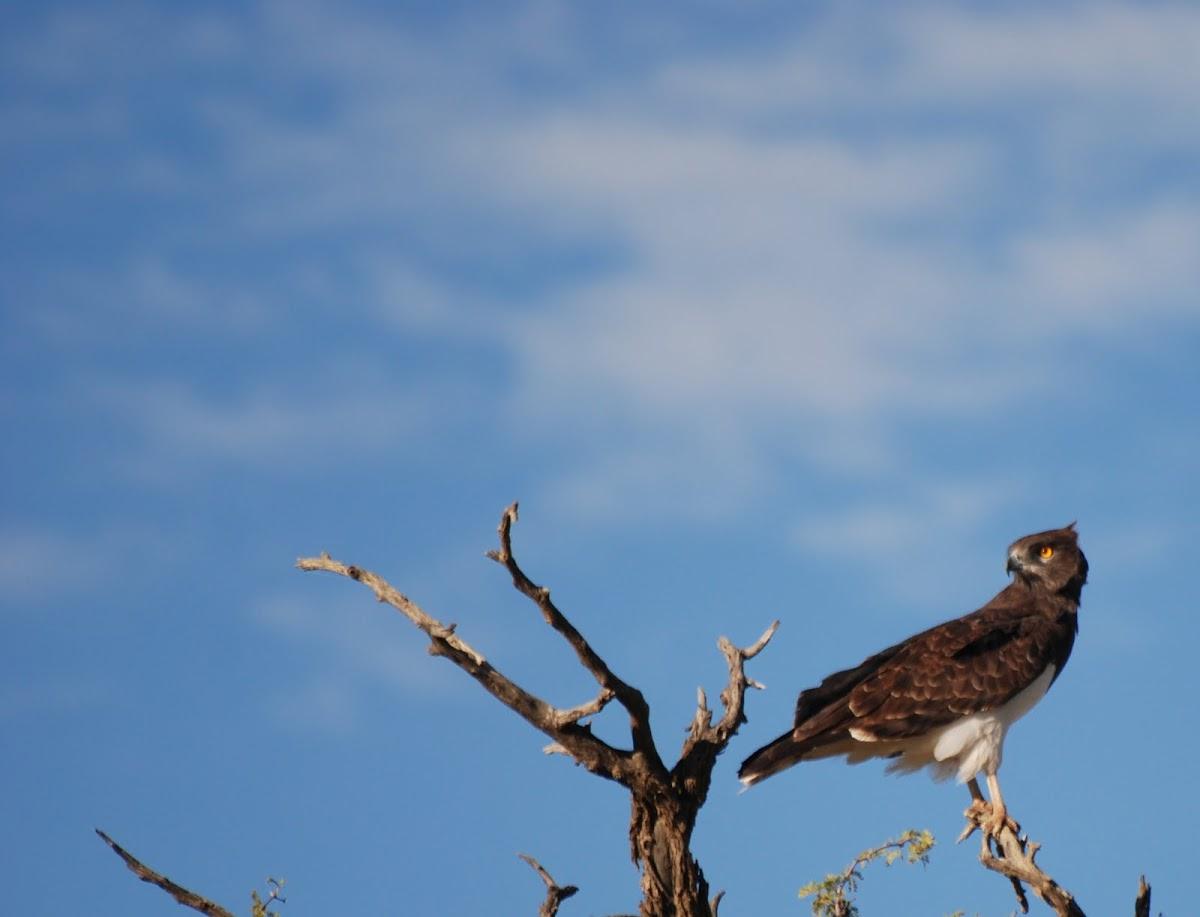 Black-chested Snake-Eagle