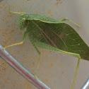 Leaf Bug / Katydid