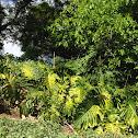 Monstera / Fruit Salad Plant