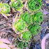 Floral Cactii