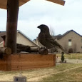 Birds of Davis County, Utah