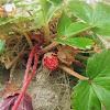 Greenleaf Strawberry