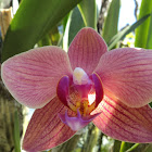 Phalainopsis orchid