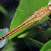 Ruddy Marsh Skimmer (Female)