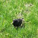 Common myna starling