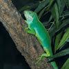 Fiji Green Banded Iguana