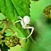 White Flower Crab Spider