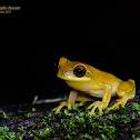 Yellow Hourglass Tree Frog