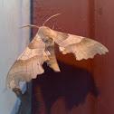Oak Hawk-moth