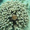 Branched Finger Coral