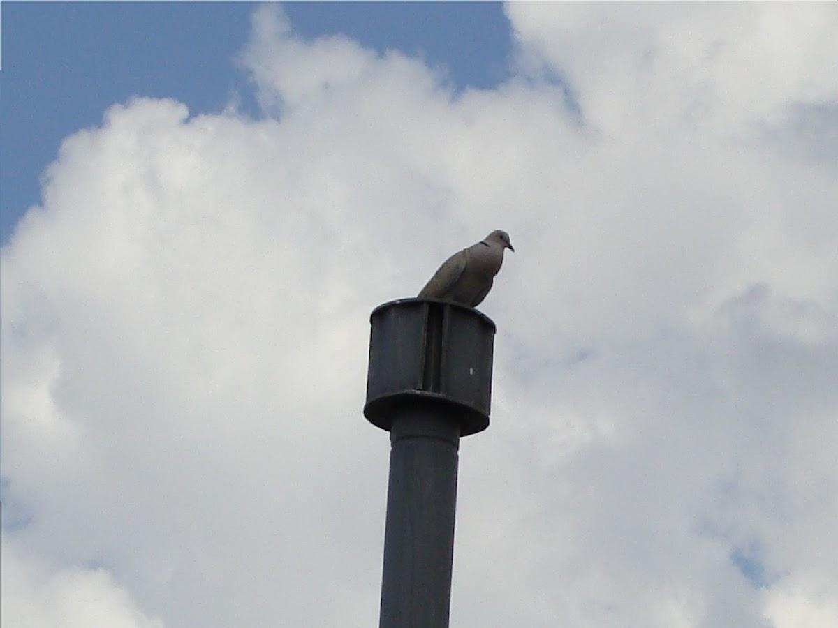 Eurasian Collar Dove