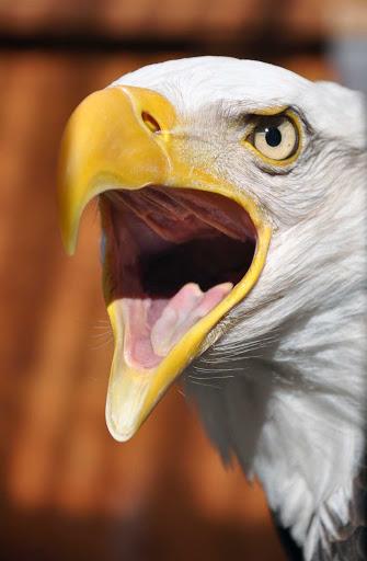 Anchorage-Bald-Eagle - A bald eagle near Anchorage, Alaska.