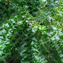 Poison Ash (Christmas Bush in Carribean)