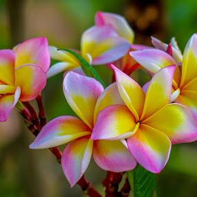 Leelawadee Flower. by John Greene - Flowers Flowers in the Wild ( beautiful, thailand, pink, beauty, leelawadee, flower, scent )