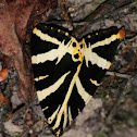 Jersey tiger, Calomorpha