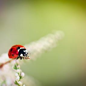 lady bug by Andrej Folo - Uncategorized All Uncategorized ( blurred, macro, red, macro photography, bug, blur, dof, ladybug, insect, close up, closeup,  )
