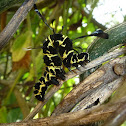 Tinolius Moth Caterpillar