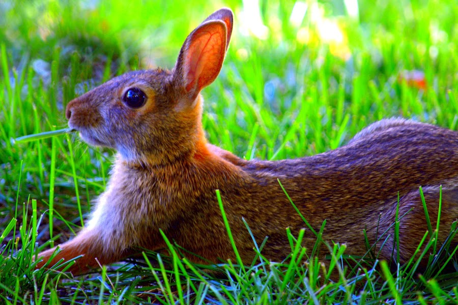 Huckleberry Bunny by John Hale - Animals Other Mammals