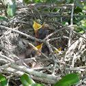 Mocking Bird chicks