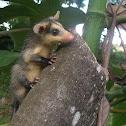 chucha - Zarigüeya orejiblanca - White-eared Opossum