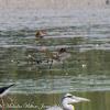 Black-tailed Godwit; Aguja Colinegra