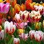 Real Dutch tulips by Patricia Vleeming - Flowers Flower Gardens (  )