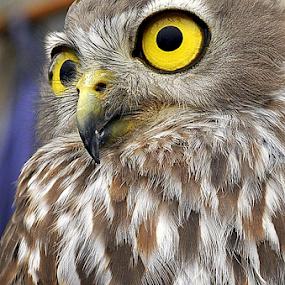 Owl by Dino Rimantho - Animals Birds ( animals, wild life, owl, birds,  )