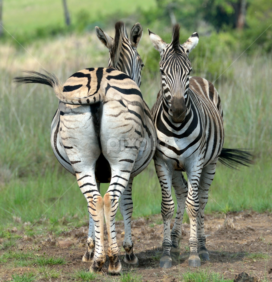 Wagging by Tobie Oosthuizen - Animals Other Mammals ( rietvlei nature reserve, wagging, zebra, tail )
