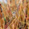 Signature spider (Writing spider)