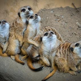 by Chrysta Rae - Animals Other Mammals ( animals, group hug, meerkats, meerkat, africa )