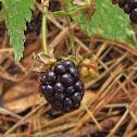 Common Blackberry