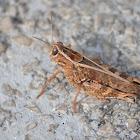 Acrididae family