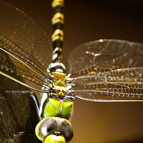 by Ganesh LK - Animals Insects & Spiders (  )