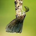 Bagworm Moth and Caterpillar (Mating)