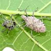 Shieldbug and Exuvia