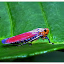 red vietnamese leafhopper