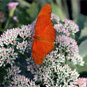 Dryas Iulia Butterfly