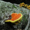 Sulphur Shelf, Chicken of the Woods