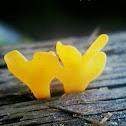 Fan Shaped Jelly Fungus